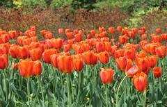 Sherwood Gardens (karma (Karen)) Tags: flowers tulips maryland baltimore brightcolors sherwoodgardens 4spring cmwdorange