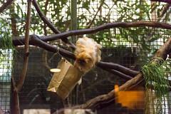 20160113-104316_WashingtonDC_D7100_1132.jpg (Foster's Lightroom) Tags: washingtondc smithsonian us washington districtofcolumbia unitedstates northamerica museums zoos primates goldenliontamarin tamarins smithsoniannationalzoologicalpark us20152016