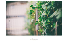 家‧印象系列_ 忍冬 (楚志遠) Tags: nikon 花 f25 ai 植物 105mm 忍冬 金銀花 楚志遠 凍先生