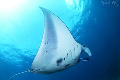 MantaRay (Randi Ang) Tags: bali fish canon indonesia point photography eos ray underwater angle wide dive scuba diving fisheye ang 15mm manta nusa randi mantaray 6d nusapenida penida