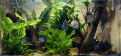Aqurio dos Acars Disco - Aquarium Discus Fish (Symphysodon aequifasciata) (Valter Frana) Tags: aquarium amazon tank cermica aqurio amaznia cardume aqutica cicldeo discusfish acardisco plantasaquticas aqurioplantado nikond5100 onvaro