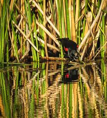 Red-winged Blackbird Madrona Marsh 3498-2 (pekabo90401) Tags: reflection canon friendship birdwatching vogel lightroom torrance redwingedblackbird agelaiusphoeniceus sargento camaraderie madronamarsh bridgecamera southerncaliforniabirds sx60 carougeàépaulettes tordoalirrojo tordocapitán mayitodelaciénaga vividcamerasetting marshmonkey birdwatchinglosangeles pekabo90401 birdsofmadronamarsh canonsx60