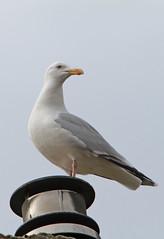 meeuw (willemsknol) Tags: birds meeuwen willemsknol bvogels