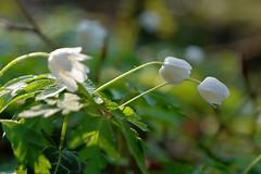 Buschwindrschen - 33-2016_Web (berni.radke) Tags: flower anemone bloom wald ranunculaceae bloosom buschwindrschen anemonenemorosa windflower blhen windrschen forestflowers hahnenfusgewchse