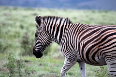 Equus quagga ssp. burchelli Burchell-Steppenzebra  Burchell's Zebra (Spiranthes2013) Tags: nature animal southafrica tiere natur young zebra sdafrika 2016 jungtier burchellszebra burchellsteppenzebra lakeelandgamereserve equusquaggasspburchelli