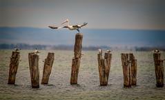 Grace (BlueberryAsh) Tags: ocean sea bird beach nikon outdoor flight pelican wharf geelong birdinflight australianbird australianpelican oldpier oldwharf cliftonsprings nikond750 tamron15000