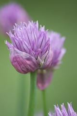 chive on (avflinsch) Tags: flower macro herb chive 500px ifttt