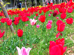 #7790 tulips () (Nemo's great uncle) Tags: flower flora tulip  odaiba   aomi  kotoku  tky