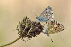*Toskana-Liebe* - *Tuscany Love* (albert.wirtz) Tags: italien italy butterfly italia tuscany toscana makro schmetterlinge toskana polyommatusicarus paarung lycaenidae blulinge d700 nikkor10528vr nikond700 albertwirtz pairofbutterfliesmating