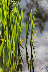 Reeds (AliceWilliamsPhotography) Tags: england plants reflection canon reeds lens outdoors photography prime photo spring pond 85mm goldenhour springtime lightroom 550d canon550d