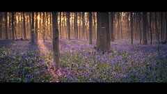 Fairytales (Thierry Hudsyn) Tags: fairytale sunrise widescreen cinematic contrejour hallerbos boisdehalle canon6d cinematicphotography zeissdistagon35mmf2ze