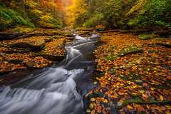 Littered in Gold (Frankie Kenneth) Tags: flow gold nikon glow fallcolors low ngc wide autumncolors fallfoliage westvirginia waterfalls millcreek leaflitter newrivergorge waterscapes nikkor1424mm28 creeksandstreams nikond800e