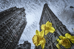 flat iron building and spring (thomas.reissnecker) Tags: nyc newyork flower yellow spring bigapple flatiron inexplore