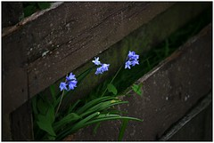 (CanMan90) Tags: flowers home sunshine canon fence garden wooden spring weekend britishcolumbia board victoria vancouverisland april friday bluebell rebelt3i