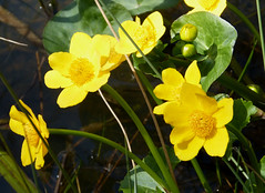 Marsh Marigold or Kingcup. Caltha palustris (gailhampshire) Tags: or marsh marigold caltha kingcup palustris taxonomy:binomial=calthapalustris