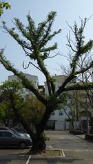P1050284 (Big Tree Chen) Tags: