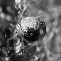 Day 112/366 (Olga Sotiriadou) Tags: nature square poppy day112 blackwhitephotos 366project 3662016 3662016edition 21apr16