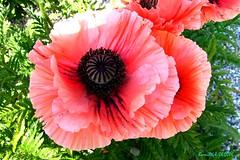Papaver Orientale  = Pavot (Barnie76@ ,) Tags: flower fleur rose jardin normandie coquelicots seinemaritime pavots