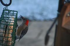 Red-Bellied Woodpecker (Saline, Michigan) - April 9, 2016 (cseeman) Tags: birds spring backyard woodpecker michigan feeder redbelliedwoodpecker saline suet suetfeeder redbelliedwoodpecker04092016