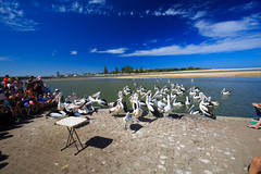 LR-160316-020.jpg (Finert) Tags: theentrance friendlyflickr pelicanfeeding 160316
