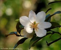 Adequate photographers use their sight, good photographers.... (itucker, thanks for 2.1+ million views!) Tags: macro blossom bokeh michelle magnolia magnoliablossom raulstonarboretum hbw shrubbymichelia