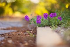 Curb Appeal (Elizabeth_211) Tags: flowers nature garden bokeh depthoffield 135mm