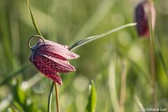 Kievitsbloem-9372 (Josette Veltman) Tags: macro photowalk lente zwolle overijssel landschap zeldzaam kievitsbloem kievitsbloemen photowalkzwolle checkersflower