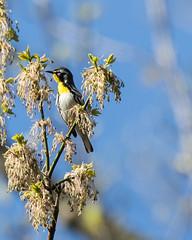 Yellow-throated Warbler (J.B. Churchill) Tags: birds us unitedstates maryland places westvirginia allegany taxonomy warblers yellowthroatedwarbler ridgeley ytwa springgap