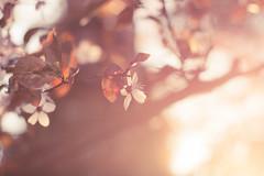 Abendsonne (Andrea Schunert) Tags: sunset nature natur blossoms settingsun abendsonne bltezeit