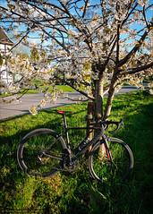 Under the blossom tree (Torsten Frank) Tags: bike bicycle deutschland blossom pflanze canyon blte ruhrgebiet nordrheinwestfalen fahrrad wetter roadbike rennrad blhen radfahren radsport ultimatecfslx