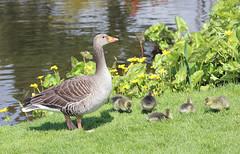 Greylag Family! (RiverCrouchWalker) Tags: family grass birds spring pond goose goslings april essex anseranser rhs hydehall greylag 2016 rettendon rhshydehall