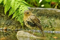 Oisillon rouge gorge familier au parc de Floral  Paris - robin (frimoussec) Tags: paris nid nature floral robin de rouge gorge vol parc libre rougegorge familier oisillon passereau