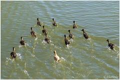 opzij opzij opzij (HP009644) (Hetwie) Tags: bird nature animal nederland natuur chick mallard eend vogel noordbrabant kuiken helmond wildeeend watervogel brouwhuis eendenkuiken