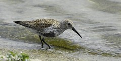 Dunlin-5653 (Wildlife Boy1) Tags: nature birds nikon wildlife jacob spinks 2016 nikonlens wildlifephotography nikond7100