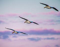 American White Pelican (shooter1229) Tags: bird nature animal outdoors flight wetlands americanwhitepelican heronpark