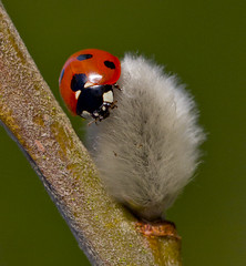 Ladybird - Coccinella Septempunctata (Ivan Lynas Nature Photography) Tags: