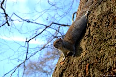 Little Squirrel (N.Pakenham) Tags: travel england nature squirrel stjamespark londres animaux cureuil