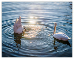 Swans of the New Year (I) (amanessinger) Tags: bird river austria swan krnten carinthia villach drau manessingercom