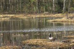nggrdsbergen (Botaniska), Gteborg, Sverige, 2016-04-26. (Roland Berndtsson) Tags: gteborg natur sverige vatten r djur fgel plats kanadags 2016 botaniskatrdgrden centralagteborg
