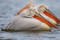 Dalmatian-Pelican-breeding_w_5651 (Stephen Daly) Tags: lake pelicans turkey greece bulgaria mediterraneansea pelecanuscrispus dalmatianpelican ageansea