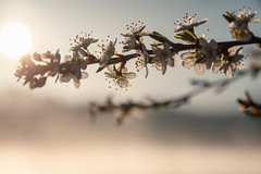 The warm Sun after a cold  night (frantiekl) Tags: morning sky sun detail nature fog sunrise landscape dawn blossom bokeh outdoor dew bloom bohemia