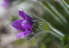 Amethyst (~DGH~) Tags: flowers macro spring purple bokeh crocus april amethyst jewel 2016 bokehwednesday smcpentaxdfamacro100mmf28 ~dgh~ pentaxk50