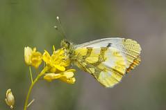 anthocharis belia (jojesari) Tags: butterfly galicia serra mariposa suso orense 9513 volvoreta nikon105vr anthocharisbelia jojesari serradaenciaedalastra ar516g