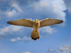 Cerncalo primilla (Falco naumanni. Fleischer, 1818) (EcoFoco juanma.coria) Tags: espaa naturaleza primavera fauna atardecer andaluca aves cdiz vuelo hembra rapaces nidos alcaldelosgazules parquenaturallosalcornocales fleischer1818 cerncaloprimillafalconaumanni