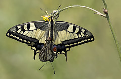 Papilio machaon - Linnaeus 1758 - mating - Explore 30 Aprile 2016 (fabrizio daminelli ) Tags: wild canon butterfly insect wildlife butterflies lepidoptera mating tamron farfalla insetto copula papilionidae papiliomachaon linnaeus1758 lepidottero fabriziodaminelli