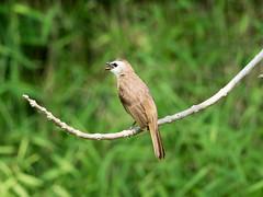 20160428-EM1X9354 (shutterblades) Tags: birds bulbul olympusem1 jurongecogarden olympusmzuiko300mmf4pro14tc