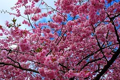 DSCF4809 (Peter Ghita) Tags: spring seasons cherryblossom fujinonxf1855mmf284rlmois fujifilmxt1