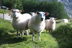 IMG_7729 (Furan.Sugo) Tags: camping wool animal norway canon tiere weide sheep outdoor norwegen tent grupo ganado noruega fjord pastos soire sheeps mouton tarde tier coucherdesoleil fiordo gruppo schafe preikestolen lysefjord pecore puestadelsol fr curiosit norvge ovejas curiosidad neugierig lacena lammas curiosit pascolo gregge troupeau ovca mutig scandinavie pturage ledner horasnoche lheuredusoir