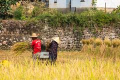 Jiuxiang farmers (Bridgetony) Tags: china workers asia southeastasia rice guilin yangshuo karst guanxi asiapacific