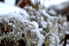 Icy leaves (leaking_light) Tags: winter snow billinge